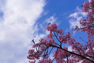 砧公園付近�仙�桜並木