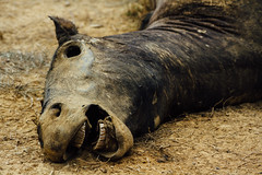 Mummified Horse Carcass, Colombia (AdamCohn) Tags: adamcohn colombia birds carcass carrion deadhorse geo:lat=7989828 geo:lon=73506246 geotagged horse mummified roadkill roadside rotten rotting scavengers scavenging vultures wwwadamcohncom sanmartin cesar
