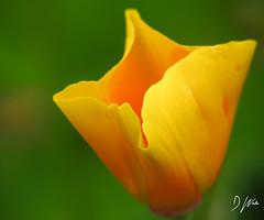 Glowing Yellow (domwlive) Tags: californianpoppy countydurham flowers garden july macro macrolensfilter northeastengland peterlee plants summer yellow