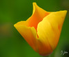 Glowing Yellow (domwlive) Tags: californianpoppy countydurham flowers garden july macro macrolensfilter northeastengland peterlee plants summer yellow