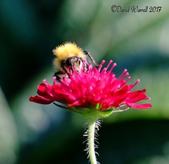 Bumblebee on a Scabious (David Warrell) Tags: fujixe2 fujixf100400mmf4556rlmoiswr inthegarden closeup bumblebee scabious insects gardenflower florafauna uk northamptionshireuk