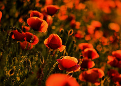 MOHNFELD (Gila98) Tags: mohnfeld mohnblume mohnblumen feld wiese sommer sonne sonnenuntergang blume natur mohnblumenfeld
