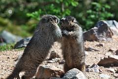 Marmot's wrestling (Adam Wang) Tags: park two nature animal cute wildlife marmot fur outdoors wild furry mammal rodent