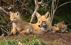 Momma fox and 2 of her kits... (Guy Lichter Photography - 3.5M views Thank you) Tags: canon 5d3 canada manitoba wildlife animal animals mammal mammals fox redfox kits