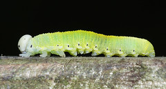 Cimbex femoratus, larva (Julian Hodgson) Tags: birchsawfly cimbexfemoratus insecta hymenoptera cimbicidae cimbex insect sawfly larva woodwaltonfen nationalnaturereserve ramseyheights cambridgeshire sonydschx400v raynoxdcr150