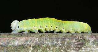 Cimbex femoratus, larva