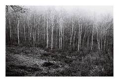 1. Birches in fog (kotmariusz) Tags: birchtree fog trees poland polska brzozy drzewa krajobraz landscape nature analog ilfordpan400 olympusom40 filmphotography 35mm