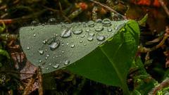 Regentropfen - Rain drops (Explore) (Oerliuschi) Tags: blatt wassertropfen waterdrops natur makro schärfentiefe heliconfocus stacking explore