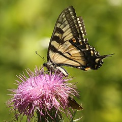 Canadian Tiger Swallowtail - female (Eric C. Reuter) Tags: nature wildlife ny catskills hancock peaseddyroad butterflylane butterflies moths insects august 2017 080117 somersetlake