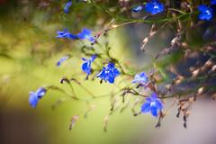 Craving For Light (matt.kueh) Tags: flower plant lobelia lobelien bokeh bokehlicious vintagelens m42 depthoffield helios40285mmf15 manualfocus