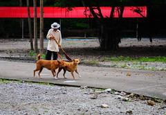 ,, Strutting Her Stuff ,, (Jon in Thailand) Tags: mama rocky legman monkeytemple street streetphotography streetphotographyjunglestyle red green blue booniehat jungle broom sweeping nikon nikkor d300 175528 dog dogs k9 k9s 2dogs strutting struttingherstuff thaiman friends happydogs concrete concreteroad trees broomman littledoglaughedstories
