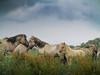 Konikpaarden Oostvaardersplassen Lelystad. (Dynaries) Tags: konik konikpaard konikpaarden horses paarden paard horse polen natuur nature landscape landschap oostvaardersplassen oostvaarders natuurgebied niewewildernis wildernis veulen canon powershot g1x 2017 animals dieren
