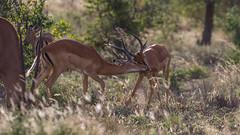 Tsavo West-8395 (ovg2012) Tags: kenia kenya tsavo tsavowestnationalpark