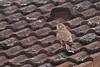 Falco tinnunculus 20170717 a , NGID572796036 (naturgucker.de) Tags: ngid572796036 naturguckerde falcotinnunculus johannisberg unterebrunnengasse carnolaber