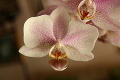 Orchid 2 (Lore Fez) Tags: canon eos 1300d natura nature fiori fiore flower macro primopiano rosa orchidea orchid