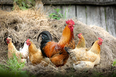 Happy family (svklimkin) Tags: rooster hen family farm household society straw coloured poultry breeding harem polygamy