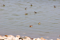 Phalarope dance: spinning and feeding (Great Salt Lake Images) Tags: summer morning causeway migratorybirds greatsaltlake utah