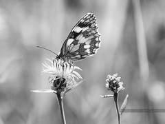 (Px4u by Team Cu29) Tags: falter schachbrett damenbrett melanargiagalathea tagfalter nymphalidae edelfalter einfarbig schärfentiefe outdoor heiter insekt tier schmetterling