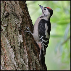 Great Spotted Woodpecker (image 1 of 2) (Full Moon Images) Tags: kings dyke wildlife nature reserve bird great spotted woodpecker