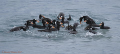 Surf Scoter Scrum (danielusescanon) Tags: animal bird duck seaduck wild swimming diving flock surfscoter melanittaperspicillata anseriformes anatidae birdperfect