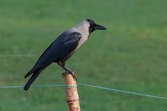 0F1A1331 (Liaqat Ali Vance) Tags: crow bird portrait nature gulshan e iqbal lahore google liaqat ali vance photography punjab pakistan