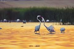 Fight (Peideluo) Tags: amanecer fight laguna birds flamingos