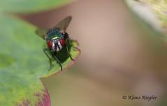 Die Fliege (Klaus R. aus O.) Tags: fliege mücke insekt blatt garten makro sechsfüser fluginsekt neuflügler zweiflügler brachycera asilomorpha muscomorpha stratiomyomorpha tabanomorpha vermileonomorpha xylophagomorpha