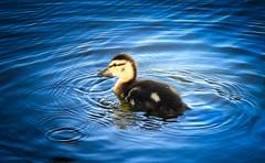 Ripples in Time (robinlamb1) Tags: nature animal outdoor bird duck mallard anasplatyrhynchos duckling bluewater water ripples waves brydonlagoon langley