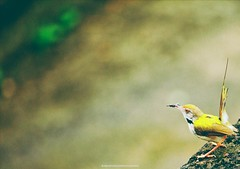 Super fade  Tailorbird catches and eats insect...  #insects #insect #bug #bugs #TagFire #bugslife #macro #closeup #nature #animals #animals #instanature #instagood #macrogardener @TagfireApp #macrophotography #creature #creatures #macro_creature_feature # (AbhishekIyerPhotography(AIP)) Tags: bugs beautiful bugslife focus tagfire snapshot photos pictures macrophotography macrocreaturefeature naturelover nature macrogardener insects composition color art allshots instanature photooftheday natureshooters picoftheday picture lovenature pics earth photography insect wildlife pic photo macro animals capture instagood moment closeup bug creature creatures exposure