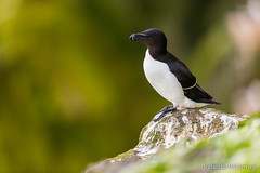 Razorbill (The Nature Guy) Tags: iceland razorbill alcidae charadriiformes bird alca laridae lari animal alcatorda aves northeasternregion is