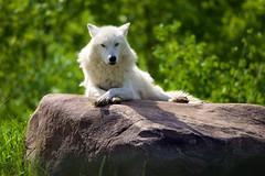 Tree (conwest_john) Tags: torontozoo arcticwolf explore