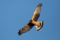 Juvenile Northern Harrier (wlb393) Tags: northernharrier birdsofprey birds sycamoregrove livermore s8m5471