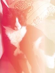 the cat (meeeeeeeeeel) Tags: bichinho bichodeestimação bicho animaldeestimação animal pet colorful colors red sleepy bichano felino kitty kitten gatinho frajolinha tuxedocat chat cymera gato cat