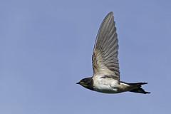 Hirondelle_A651525_DxO (jackez2010) Tags: ilce6500 sonyfe70200mmf4goss bif birdinflight hirondelle