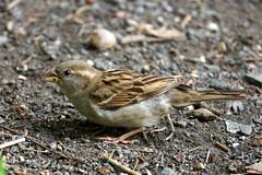 Dr Lester Shalloway Bachman's Sparrow