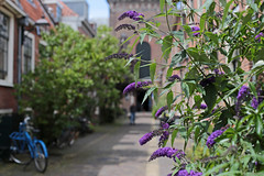 Bikes and flowering front gardens in narrow old streets (1) - 50mm f/1.4 (eleni m (busy remodeling house)) Tags: outdoor city streets old narrow bikes flowers plants frontgardens houses church 50mmf14 roofs windows holland haarlem buddleja fixedfocuslens dof