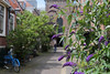 Bikes and flowering front gardens in narrow old streets (1) - 50mm f/1.4 (eleni m) Tags: outdoor city streets old narrow bikes flowers plants frontgardens houses church 50mmf14 roofs windows holland haarlem buddleja fixedfocuslens dof