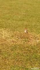 Coruja - Owl (•Adriano Almeida•) Tags: brasil brazil estadodoparaná paraná interiordoparaná londrina owl coruja paisagemurbana urbannature urbanlandscape vídeo vídeos vids vid movie