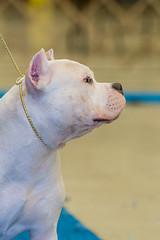 IMG_3396.jpg (Gathering the Light By Wade) Tags: abkc animal bully dog pitbull pitty