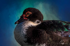 A Sit In (cd32919) Tags: bird avian wings freedom feathers beautiful animal duck muscovy cairinamoschata wildlife birds tree animals cyndydoty