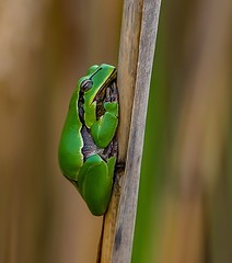 Gewone boomkikker - Tree frog - Hyla arborea (Foto's by Yves) Tags: sneppekesvijver outdoor nature reserve 100mm macro 062017 specanimal beautiebeasts ngc npc