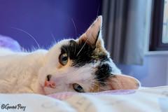 Treacle (parry101) Tags: cat cats pet pets animal animals treacle geraint parry geraintparry nikon nikond500 d500 sigma sigma105mm 105mm macro lens macrolens