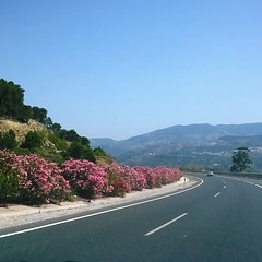 Route of the Oleander ... ☺ (Tricia in Kent UK ....☺) Tags: routeoftheoleander granadaairport granada andalucia españa oleander route coast poisonous beautiful shrubs oleandershrubs outdoors spain