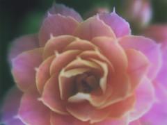 rising (meeeeeeeeeel) Tags: jardim garden natureza nature iphone iphoneography hipstamatic hazy kalanchoedobrada petals closeup macro pasteltones kalandiva kalanchoe flor flower