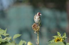 Alerta (Aristides Díaz) Tags: pájaro bird jilguero cardeliuscardelius campo girasoles vegadegranada sigmaaf400f56apotelemacro avesilvestre