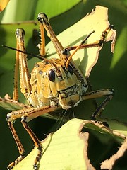 My friendly Lubbers are back and dripping with rain (jungle mama) Tags: lubber grasshopper gold biscayneparkflorida insect ngc