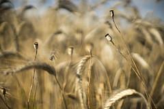 Field (michel1276) Tags: canonfd5512al field feld getreide bokeh mohn poppy bokehlicious wheat weizen