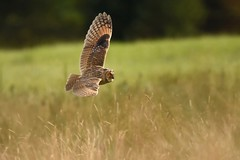 LEO Owlet on the hunt (Phil D 245) Tags: