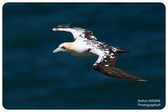 Immature 3rd year Gannet (Bolton Wildlife Photography) Tags: gannet bemptoncliff bird wildlife animal nature uk british bwp flying