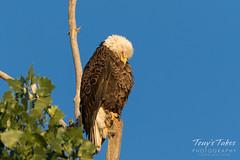 Preening Bald Eagle